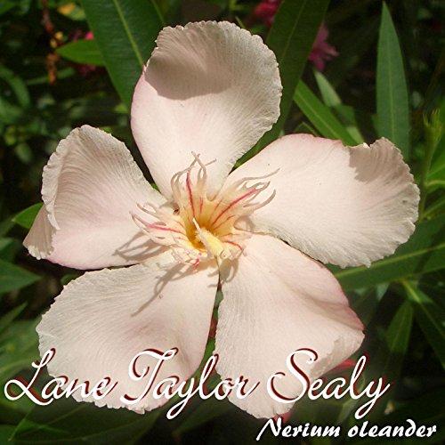 oleander-lane-taylor-sealy-nerium-oleander-grossec14-im-rechtecktopf