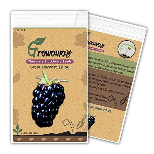 new-arrival-fruit-seeds-100pcs-perennial-new-sweet-apache-thornless-blackberry-seeds-tasty-fruit-fre