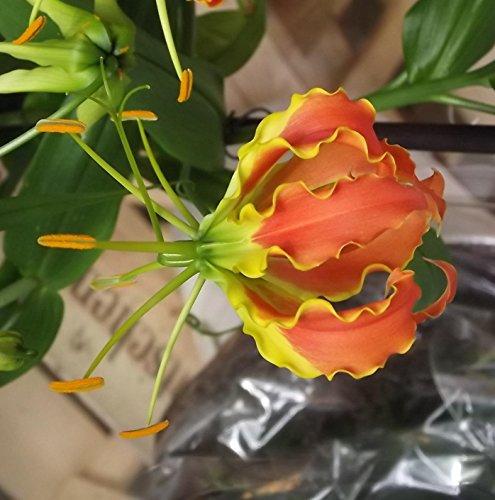 """Gloriosa"""" Sparkling Jip"""" Ruhmeskrone Flammenlilie Prachtlilie"""