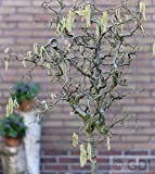 Korkenzieher Hasel 40-60cm - Corylus avellana