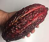 Asklepios-seeds® Kakao-Frucht, Kakao Schote, Theobroma cacao, Frisch & Essbar, Kakaobohnen Samen