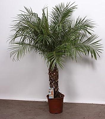 Zwergdattelpalme Phoenix Roebelenii 100/100cm