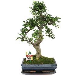 Chinesische Ulme - Ulmus parviflora - ca. 12-15 Jahre