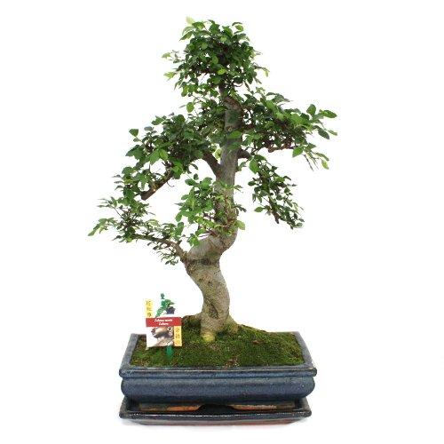 Bonsai Chinesische Ulme ca. 12-15 Jahre