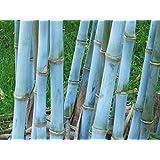 Blauer Riesenbambus Bambusa textilis 10 Samen