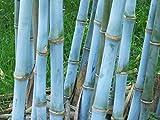 Blauer Riesenbambus - Bambusa textilis - 20 Samen