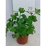 Perejil (Maceta 10,5 cm Ø) - Planta viva - Planta aromatica