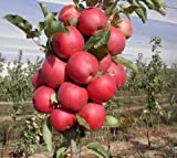 #3: Live World famous Kashmir Apple Plant - Seb Tree