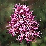 Bloom Green Co. Ltalian Man Orchid Bonsai 100 PCS Exotische