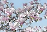 Fototapete MAGNOLIA 368x254 Magnolien volle Blüte weiss rosa Frühling himmel blau