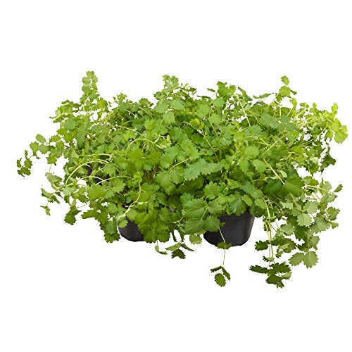 Pimpinelle -kleine Wiesenknopf- (Set mit 5 Pflanzen) frisches Küchen-,Salat- und Heilkraut in...