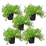 Kerbel (5 Pflanzen)   frische Pflanzen im 12 cm Topf   kräftige Kräuterpflanzen in bester Gärtnerqualität