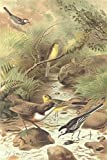 BIRDS: Dipper, Pied Wagtail & Yellow Wagtail, antique print 1894