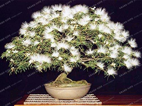 Graines vivaces Albizia fleur (Albizia julibrissin) Fleur Bonsai Arbre Graines Arbre d'ornement Maison, Jardin 20pcs / Sac 3