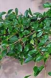Teppichmispel Cotoneaster dammeri radicans 20-30 cm im 1,2 Liter Pflanzcontainer 1 VE = 100 Pflanzen