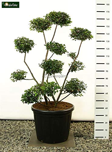 OBI Pflanzabstand ca. 30 - 40 cm