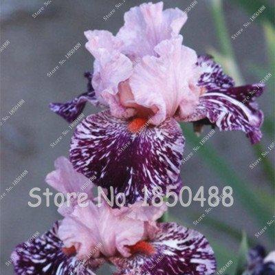 Pflanzen Iris (100 PC / bag Iris Blume, Bonsai-Blumensamen, seltene Blumensamen Schwertlilie Samen, Natur Pflanzen Orchideenblüte DIY für Garten 14)