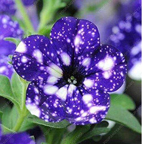 100 Samen Petunia Samen seltenen blauen Petunien Samen Europa einzigartige dunkelblauen Blüten Kerzen Samen vergossen Bonsai-Garten Hof Red