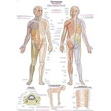 """Erler-Zimmer AL561 Chart """"Dermatomes"""""""