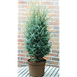 Heide-Wacholder, Juniperus com. Excelsa 5LTopf 40/60cm