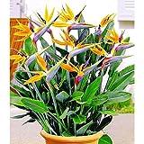 Kisshes Seedhouse - Afrique Rare Strelitzia reginae 'Humilis' 'Oiseau du paradis' nain fleurs grainé jardin plantes vivaces Plantes en rocaille, en couvre-sols ou en bordure...