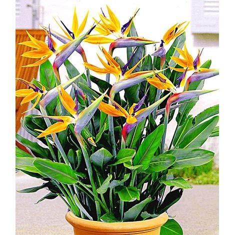 Qulista Samenhaus – Raritäten Paradiesvogel-Blume Strelitzie exotisch Blumensamen Mischung winterhart mehrjährig Kübelpflanze
