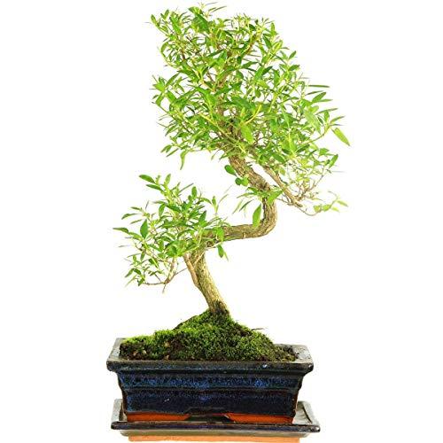 Junischnee, Bonsai, 9 Jahre, 37cm