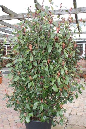 photinia-fraseri-17m-tall-red-robin