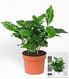 BALDUR-Garten Coffea arabica,1 Pflanze