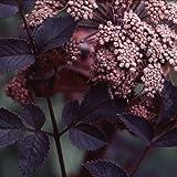 Plant World Seeds - Angelica Sylvestris 'Ebony' Seeds