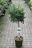 Oliviers en demi-tige - Plantes ayant pris racine qui donneront des fruits cette année