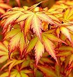 Winterharter Japanischer Acer Palmatum Orange Dream 1 Baum