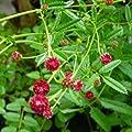 lichtnelke - Großer Wiesenknopf (Sanguisorba officinalis RED THUNDER) von Lichtnelke Pflanzenversand bei Du und dein Garten