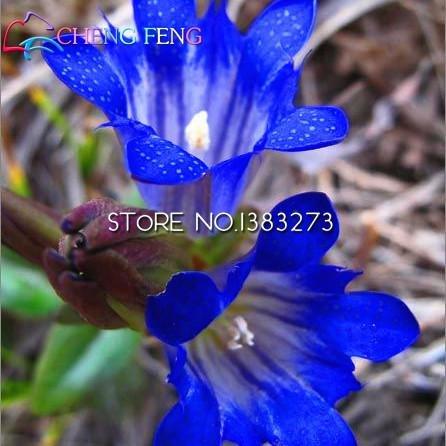 La nave libera semi blu genziana Fiore 50 pc Novel pianta perenne facile da coltivare Flower Garden Home Guarda Vendita di semi Flores Giappone