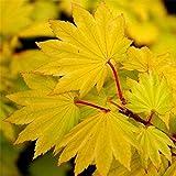 Winterharter Japanischer Acer shirasawanum Aureum Gold Yellow Ahorn ca. 60cm Frosthart