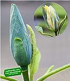 BALDUR-Garten Magnolien 'Blue Opal', 1 Pflanze, Magnolia acuminata Magnolia winterhart Tulpenmagnolie Magnolienbaum