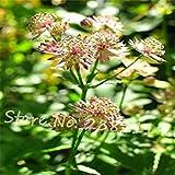 Best GENERIC Lilacs - Vistaric Astrantia Seeds(Great Masterwort) Japanese Lilac 50PCS Belong Review