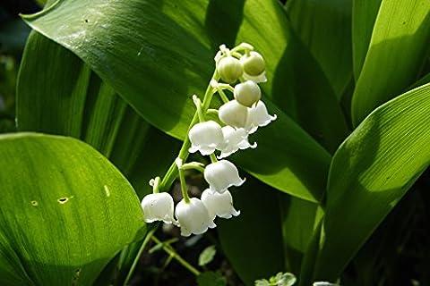 Convallaria majalis : a garden tested, hardy perennial plant