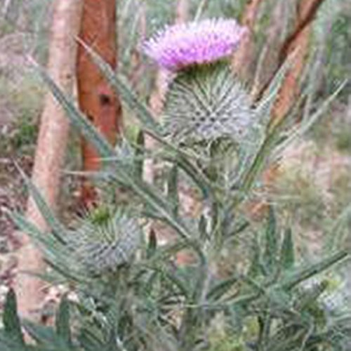 herb-seeds-scottish-thistle-50-seeds