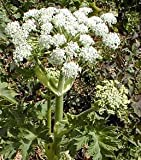Angelica archangelica herb plant aromatic leaves and stems loved by bees 9cm pot