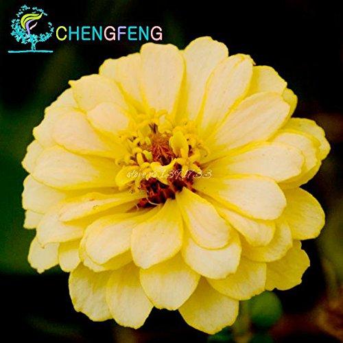 Shopmeeko Zinnia Lot de 30 Plantes de mélange de Couleurs Petites Fleurs Bonsaï pour décoration de la Maison ou de Jardin