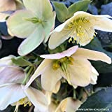 Weiße Christrose - Helleborus Niger - Die echte Schnee-Christrose als Winterblüher für den Garten - Weihnachtsrose von Garten Schlüter - Pflanzen in Top Qualität