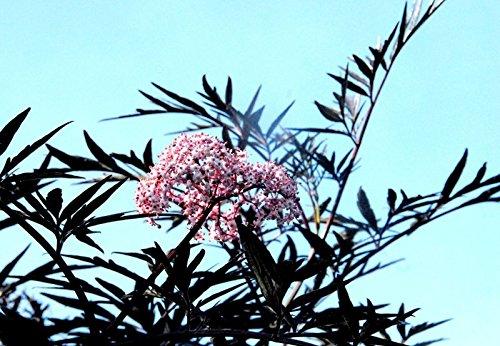 Flieder Holunder Black Lace Sambucus nigra Black Lace Containerware 60-80 cm