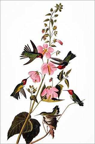 Forex-Platte 40 x 60 cm: Kolibris von John James Audubon / Granger Collection