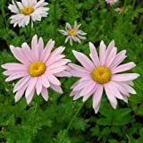 lichtnelke - Rosa Strauchmargerite (Chrysanthemum coccineum)