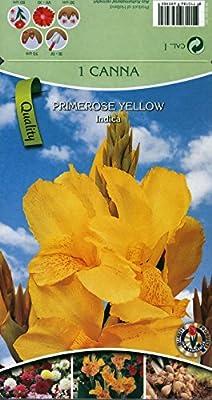 Canna gelb, Größe 1, 3 Zwiebel von Amazon.de Pflanzenservice auf Du und dein Garten
