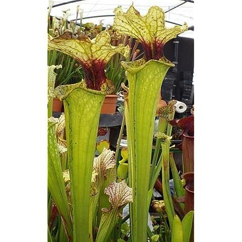 Sarracenia x moorei Boga Leiden - Sarracena, Planta de jarra Norteamericana, Plantas trompeta, Cuerno de caza - 5