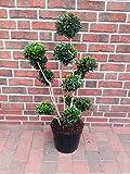 Buchsbaum Bonsai, Buxus PomPon, Höhe: 90-100 cm, Formpflanze + Dünger