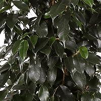 Ficus Danielle - Maceta 20cm. - Altura aprox. 120cm. - Planta viva - (Envíos sólo a Península)