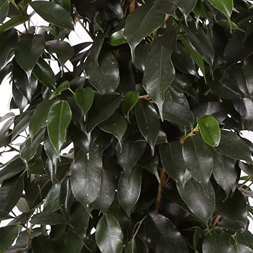 Ficus Danielle - Maceta 17cm. - Altura aprox